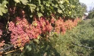 Кусты винограда Лучистый