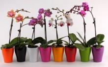 Орхидеи фаленопсис: как ухаживать, размножать и пересаживать?