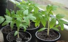 Как правильно вырастить крепкую здоровую рассаду помидоров?