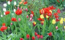 Как красиво посадить тюльпаны на участке фото