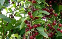 Жуковская — популярный сорт вишни: посадка и уход, отзывы