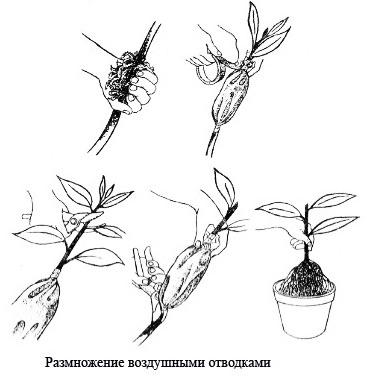 Кротон размножение черенками пошаговое