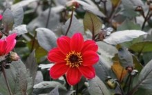dahlia single romeo