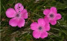 dianthus alpinus l