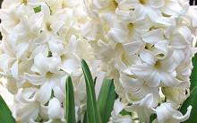 hyacinth linnocence