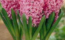 hyacinthus anna marie