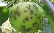 Болезни яблони: причины и лечение