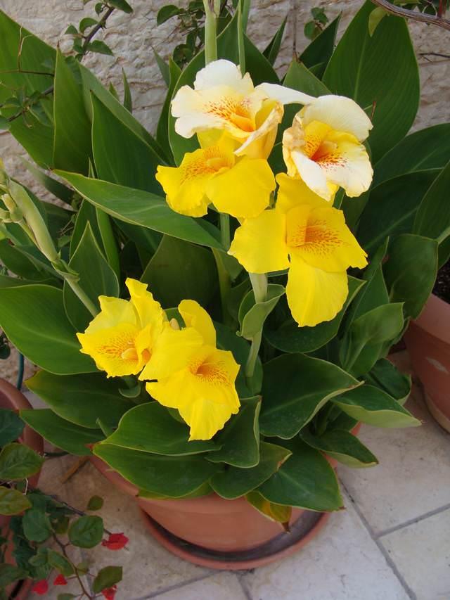 Комнатные цветы канна