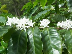 Цветение кофейного дерева
