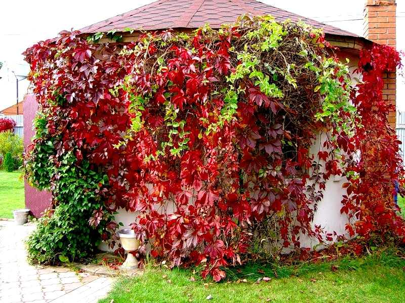 Девичий виноград: выращивание и уход стройсад.