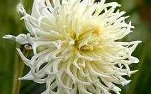 Кактусовый White Star