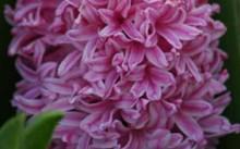 hyacinth marconi