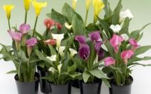 Как выращивать и размножать каллы в домашних условиях?