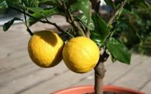 Лимон в горшке