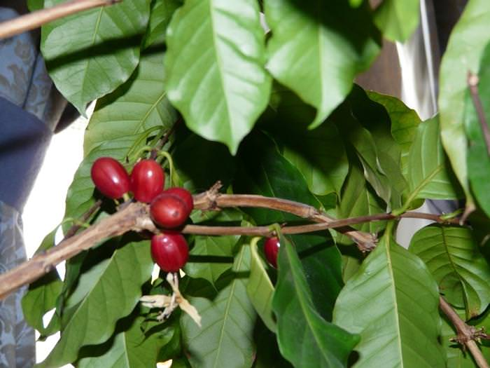 Кофейное дерево с домашних условиях