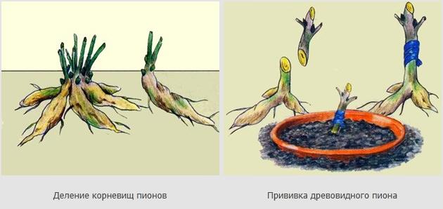 Размножение пиона