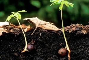 Выращивание каштана из ореха