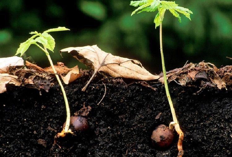 Лесной орех выращивание из ореха 398