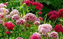 Садовые гвоздики