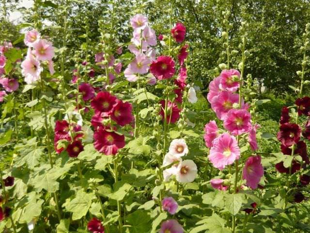 Фото цветок шток-роза