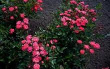 Cameo Сорт полиантовой розы