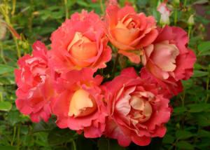 Шраб розы что это такое