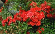 Gloria Mundi Сорт полиантовой розы