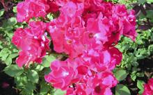 Holstein Сорт полиантовой розы