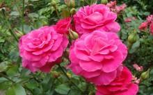Manou Meilland Сорт полиантовой розы