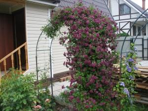 Пурпуреа плена элеганс на опоре (арке)