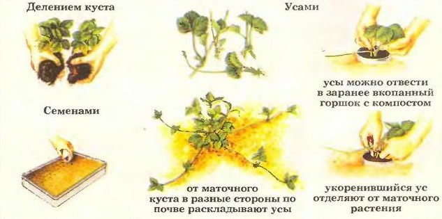 Размножение земляники (клубники)
