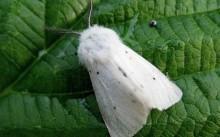 Американфская белая бабочка