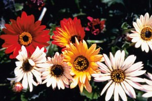 Цветы, похожие на ромашки