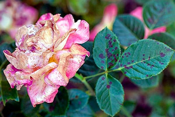 Больная роза