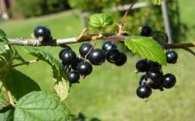 Как правильно сажать черную смородину весной и осенью?