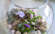Фиалки во флорариуме