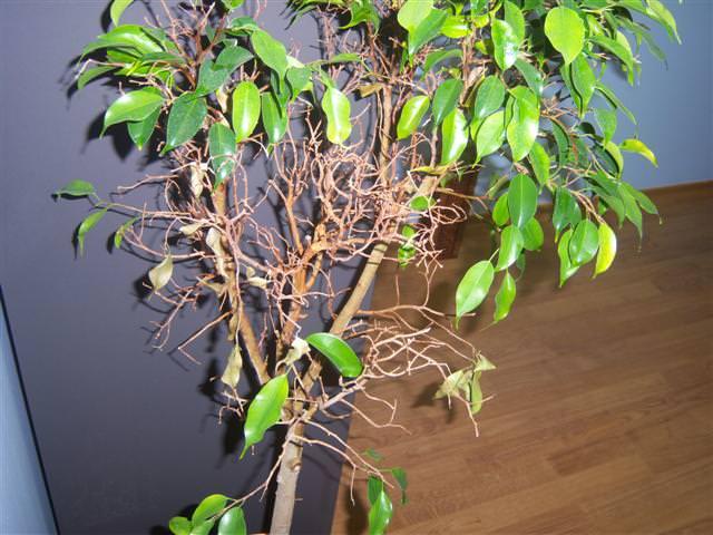 Почему у фикуса листья опадают