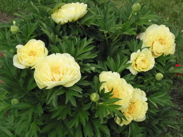 Цветение желтых пионов