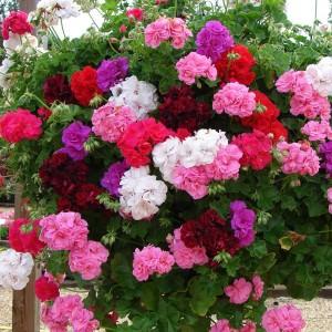 Разноцветье герани