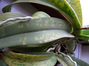 Мозаичная пятнистость орхидеи