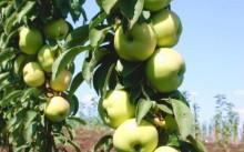 Яблони колоновидные описание сортов и фотографии