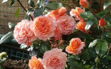 Бельведер розы шрабы