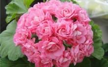 Зональная пеларгония розоцветная