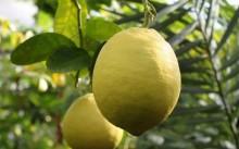 Юбилейный лимон