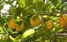 Дженоа лимон