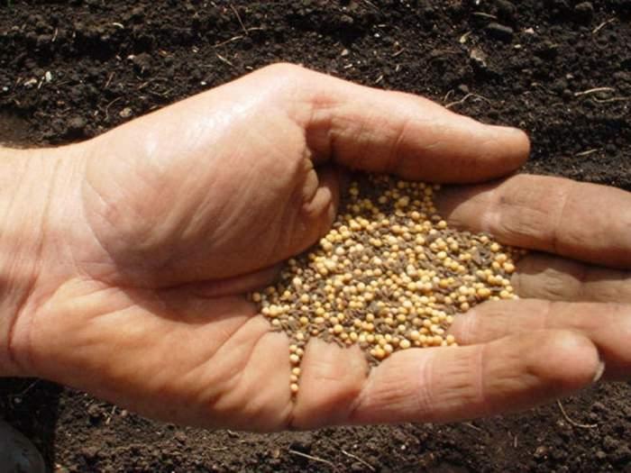 Семена горчицы в руке