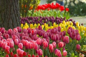 Тюльпаны группами