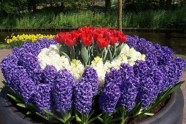 Клумбы из тюльпанов и нарциссов фото