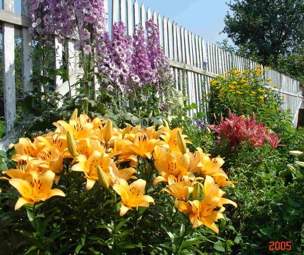 Цветы лилии рядом с какими цветами сажать