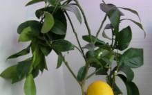 Мейер лимон